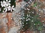 Petrorhagia grandiflora