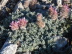 Astragalus agraniotii