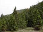 Juniperus drupacea