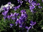 Viola parnonia