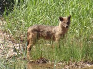 Canis aureus