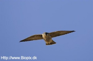 falco-peregrinus
