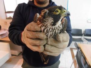 25.11.2013 Falco peregrinus (2)