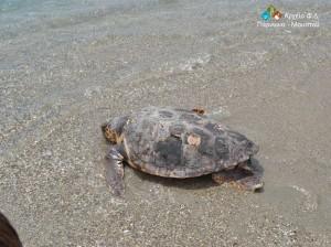 απελευθέρωσης χελώνας 6