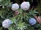 Juniperus drupacea_fruit