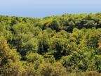 Quercus conferta (frainetto)