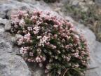 Asperula malevonensis