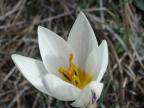 Crocus biflorus ssp. melantherus